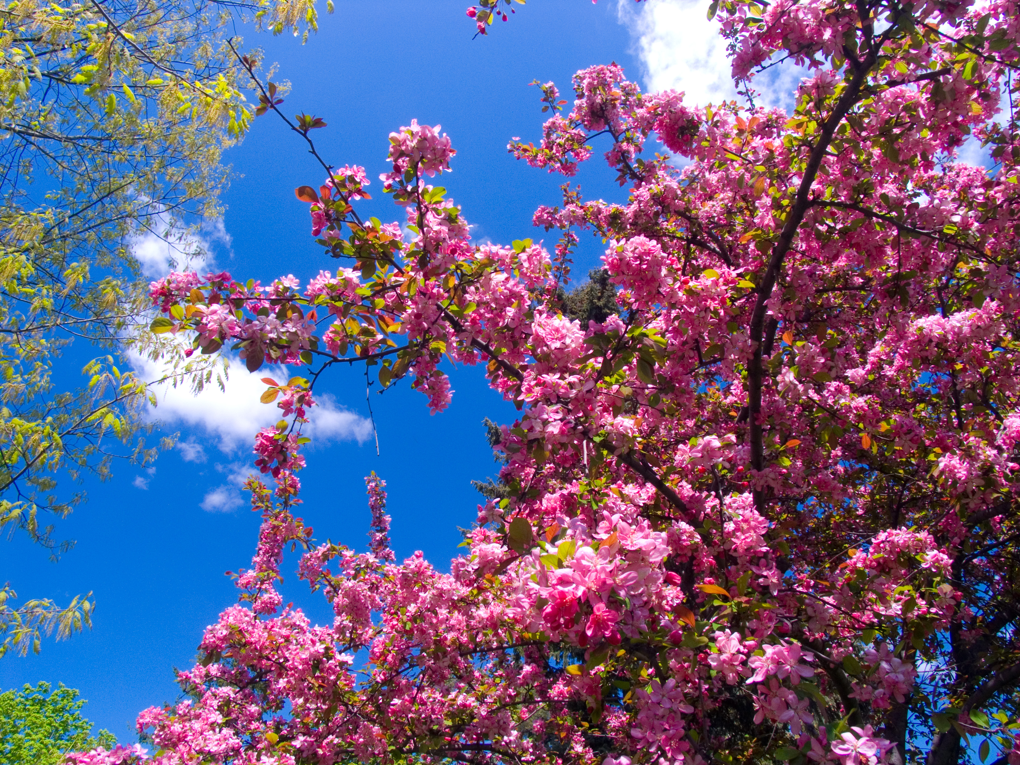 File Pink Flowers Jpg Wikimedia Commons