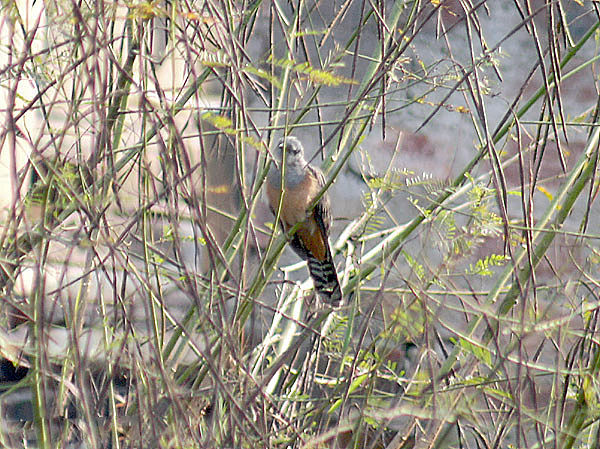File:Plaintive Cuckoo I1 IMG 6970.jpg