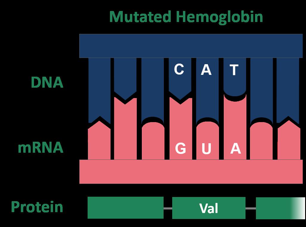 Filepoint Mutation Sickle Cell Mutated Hemoglobin 01g
