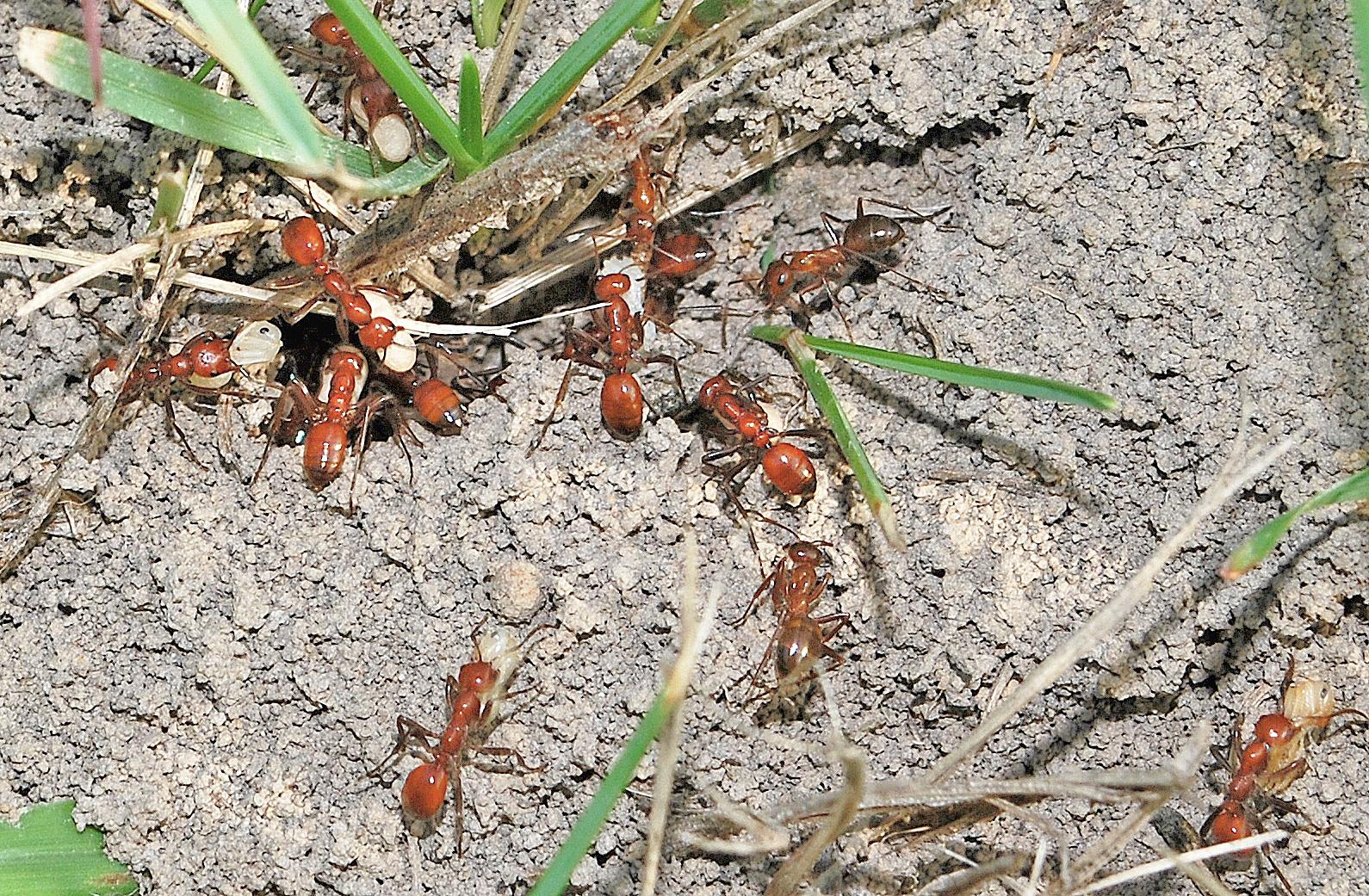 slavemaker ants