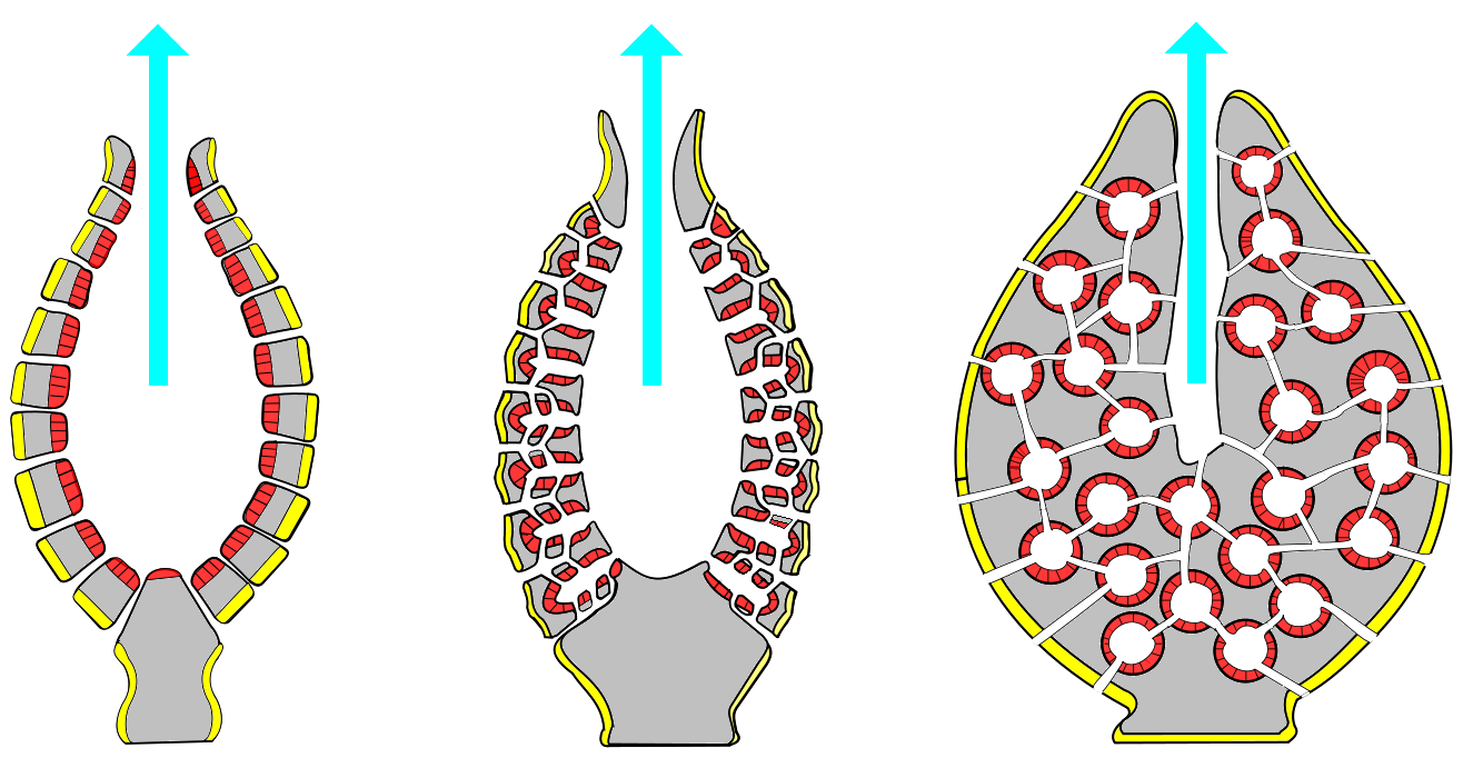 The three types of porifera body structure: asconoid, syconoid, and leuconoid, respectively. In this diagram, different cell layers (pinacocytes, choanocytes, and mesohyl) are shown (yellow, red, and gray respectively). The blue arrow represents water flow. (SW 22)