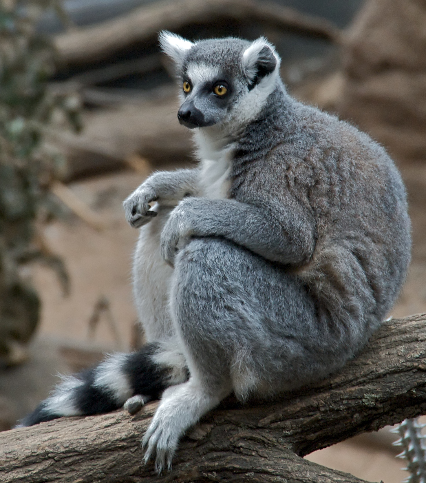 the lemur catta The conspicuous characteristic for which ring-tailed lemurs are known is their long tail, measuring about 60 cm (236 in), that has alternating bands of black and.