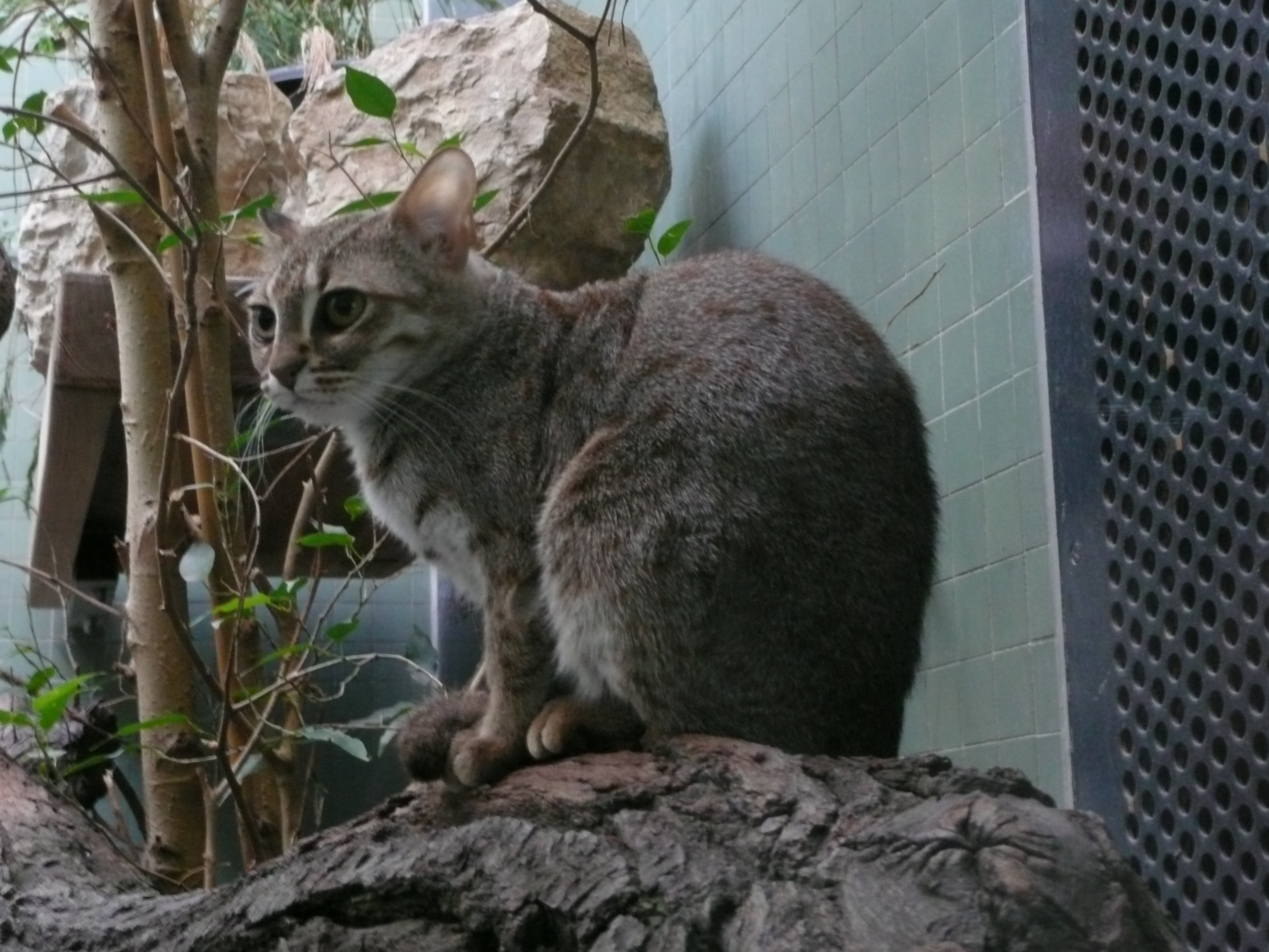 http://upload.wikimedia.org/wikipedia/commons/2/20/Rostkatze_Zoo_Berlin.JPG