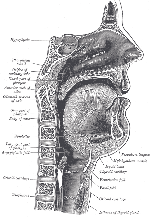 Vocal tract - Wikipedia