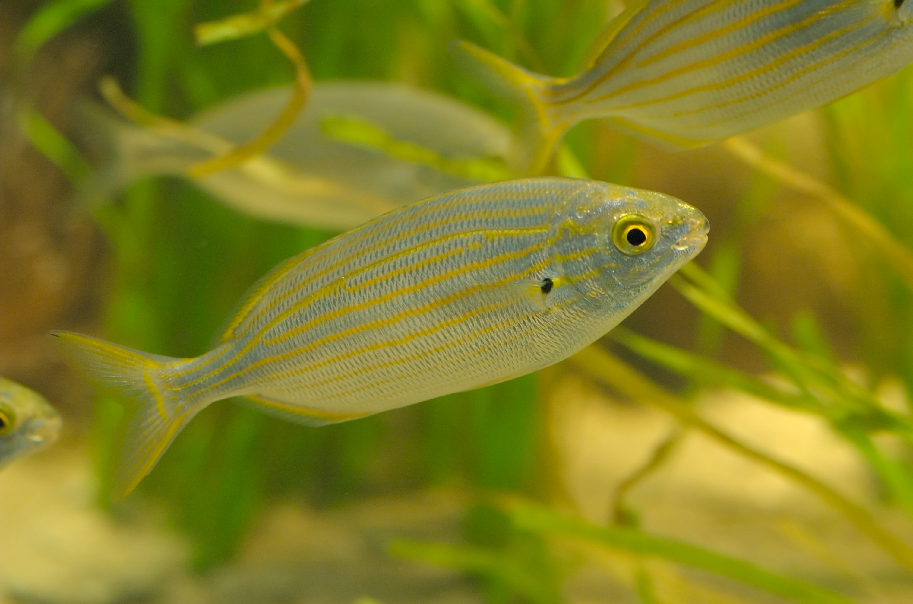 Meet The Hallucinogenic Fish That Can Give You Lsd Esque Nightmares Little Nighmares Region 3 Photo Tino Strauss Cc By Sa 30