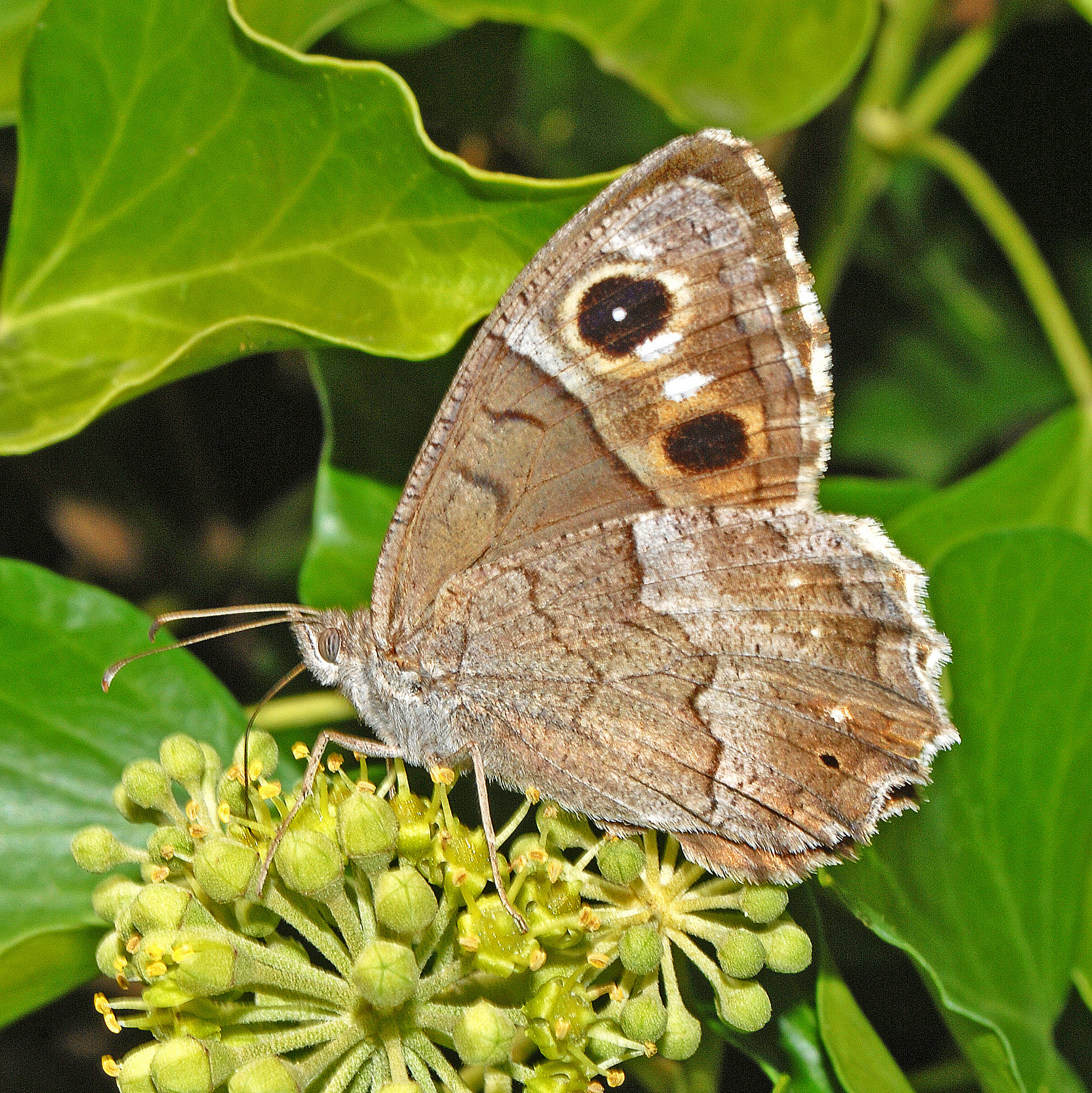 Tree grayling male butterfly, photo by Hectonichus