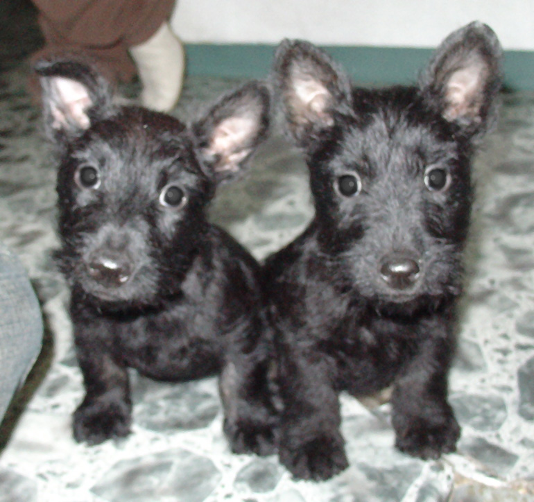 Black cute Scottish Terriers