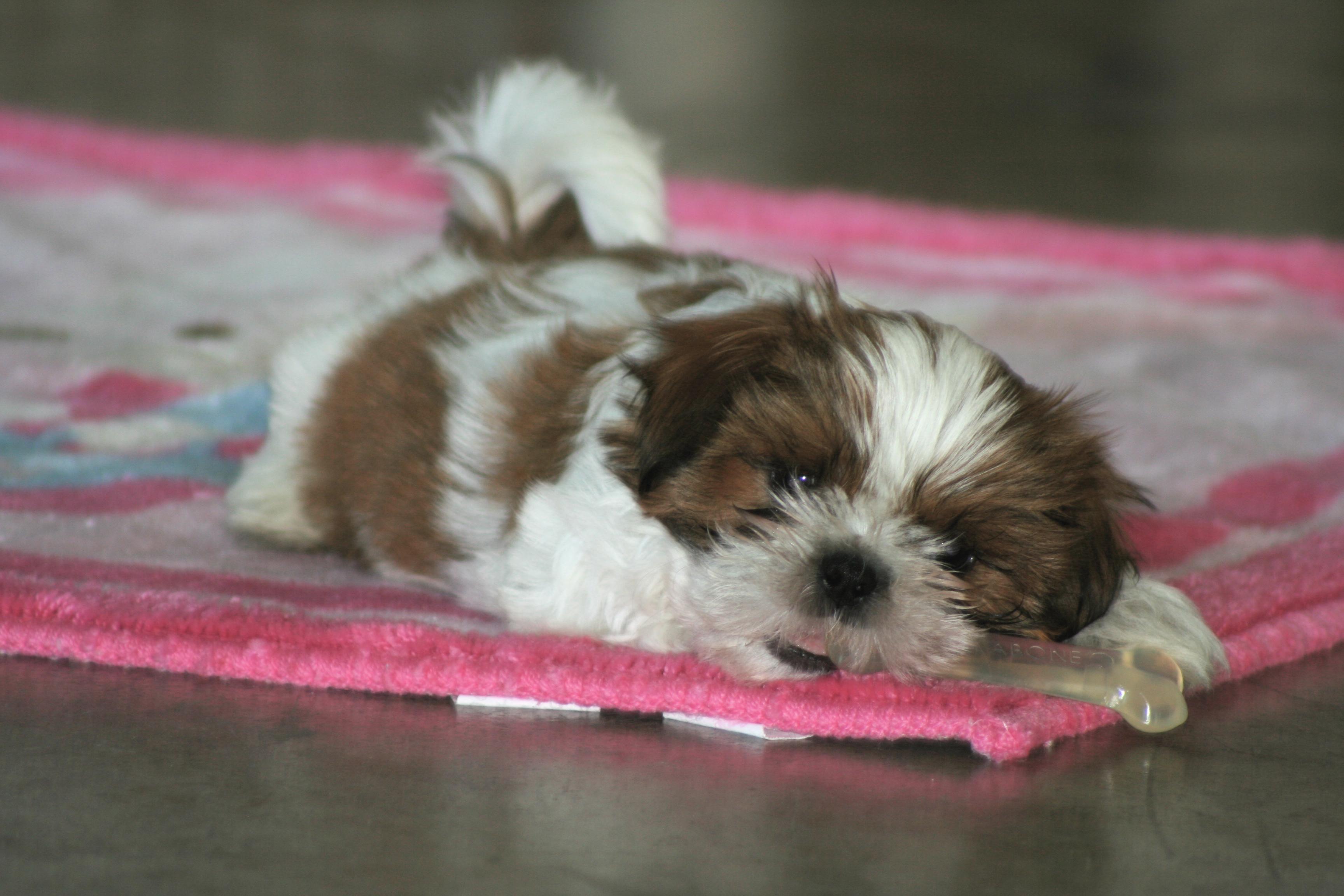 Maltese Dog Crate Training