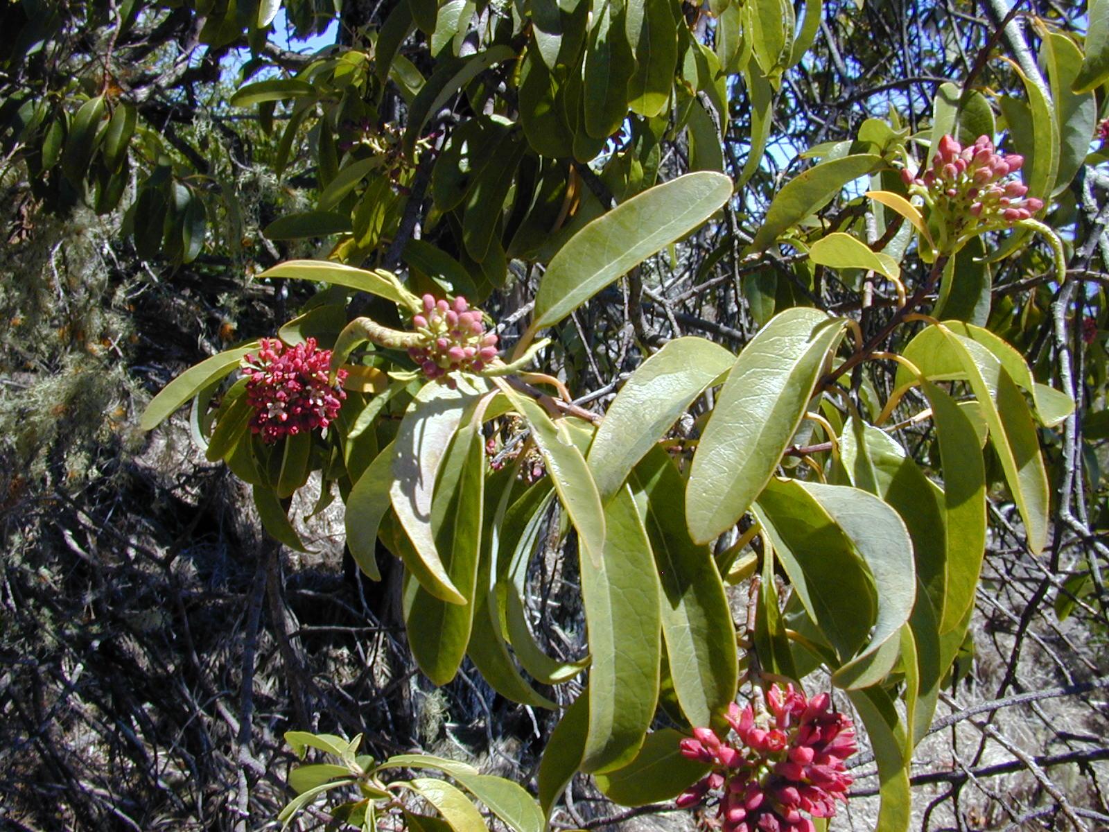 Santalum freycinetianum - Wikipedia
