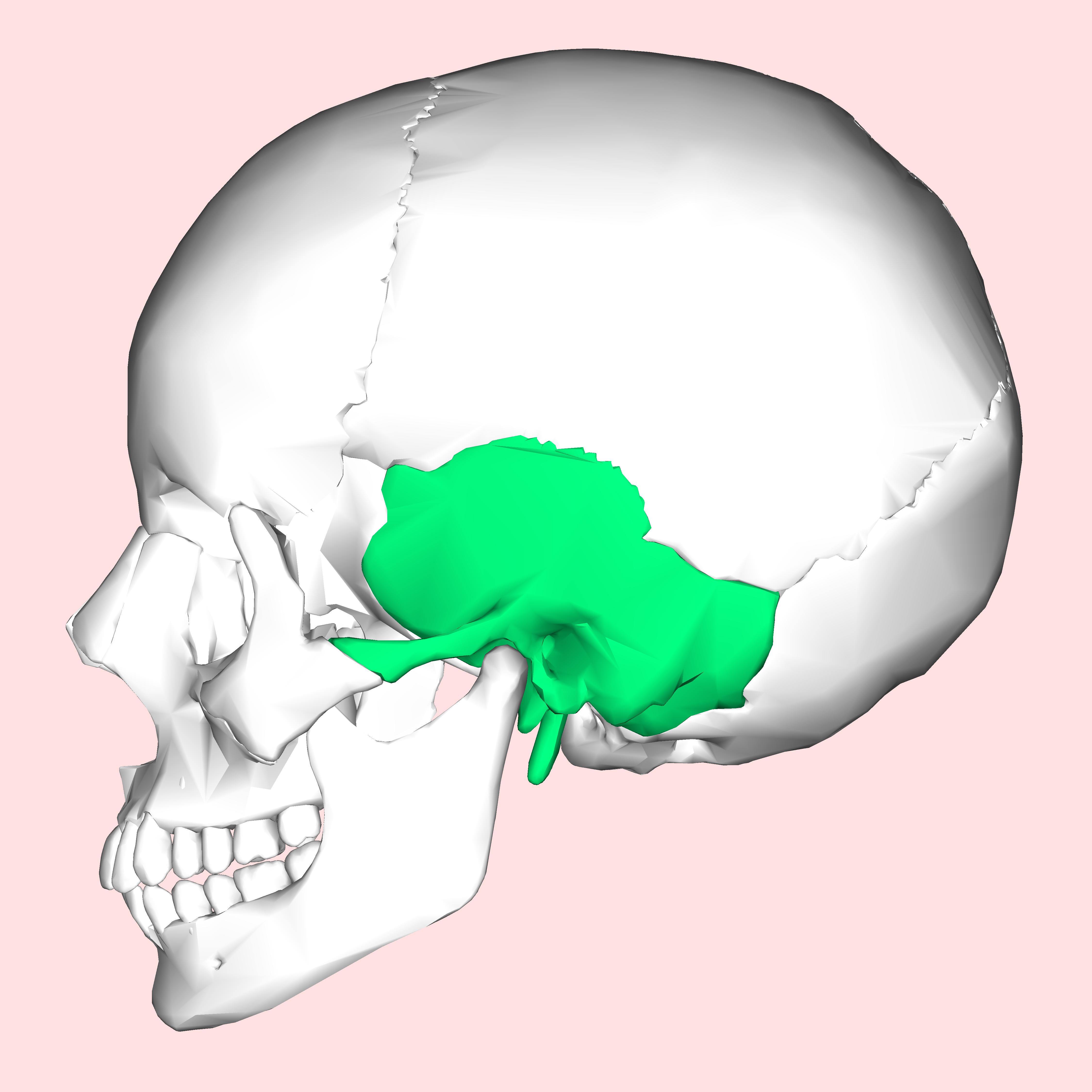 Temporal bone - Wikipedia