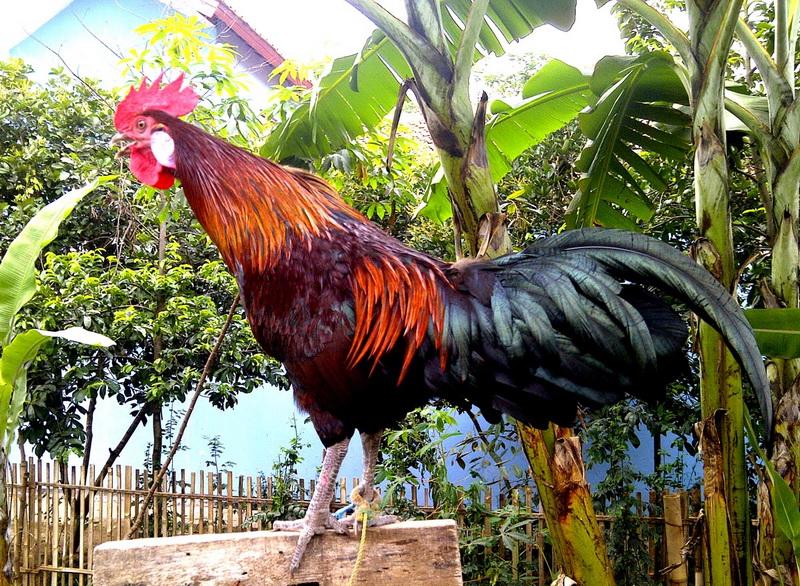 Ayam ketawa - Wikipedia bahasa Indonesia, ensiklopedia bebas