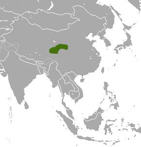 Tibetan shrew species of mammal