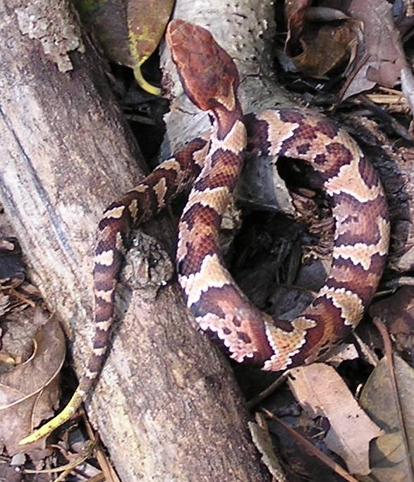 Juvenile cottonmouth. Image by Accipiter; in the Public Domain.
