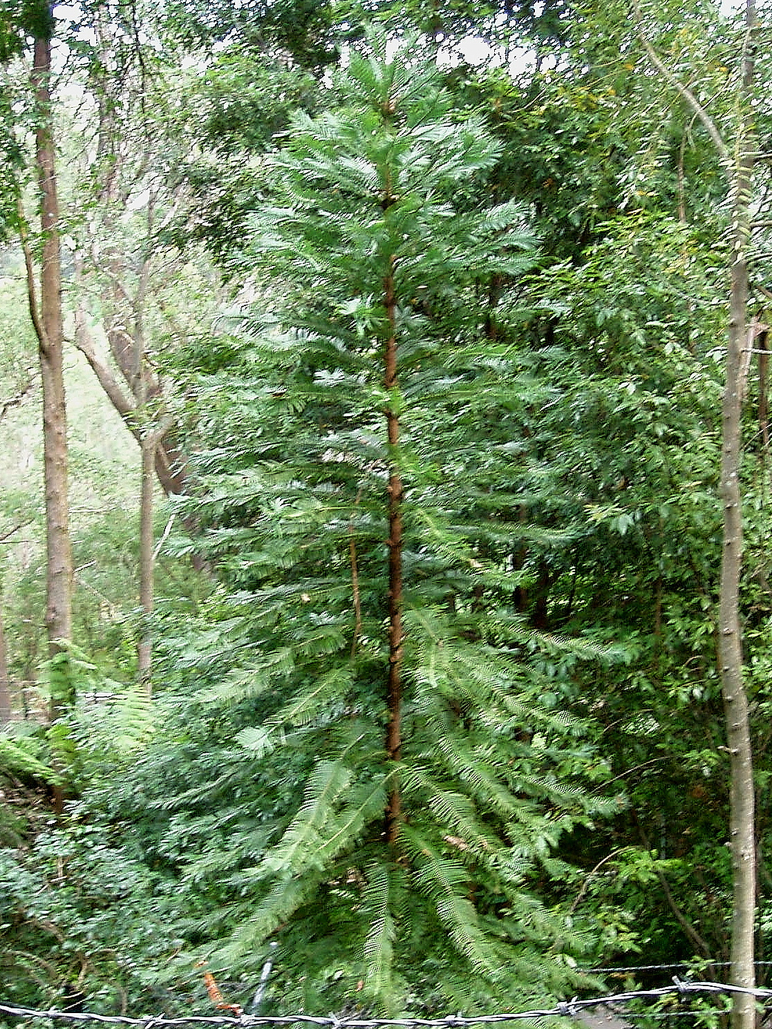 List Types of Pine Trees http://commons.wikimedia.org/wiki/File:Wollemi_Pine.jpg
