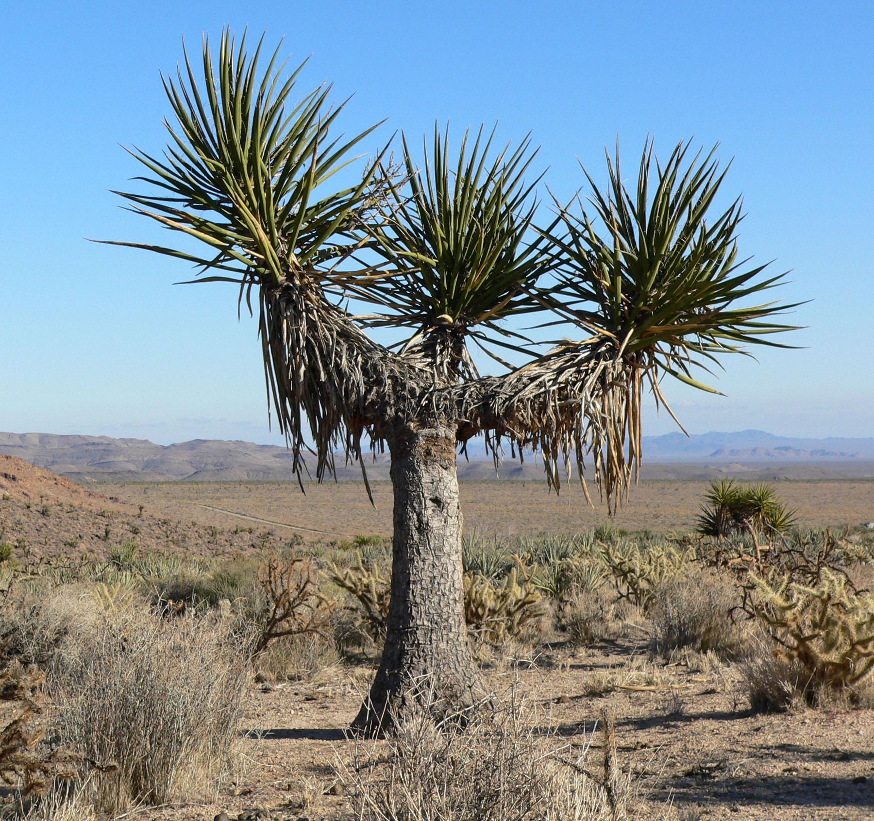 Schidigera Yucca