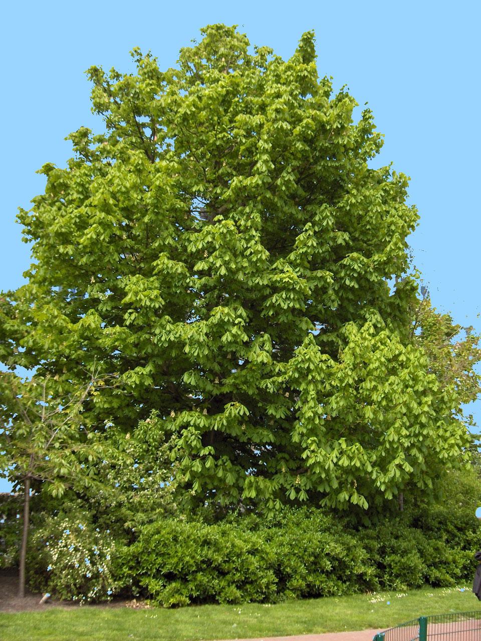 Aesculus hippocastanum wikipedia for Chioma albero