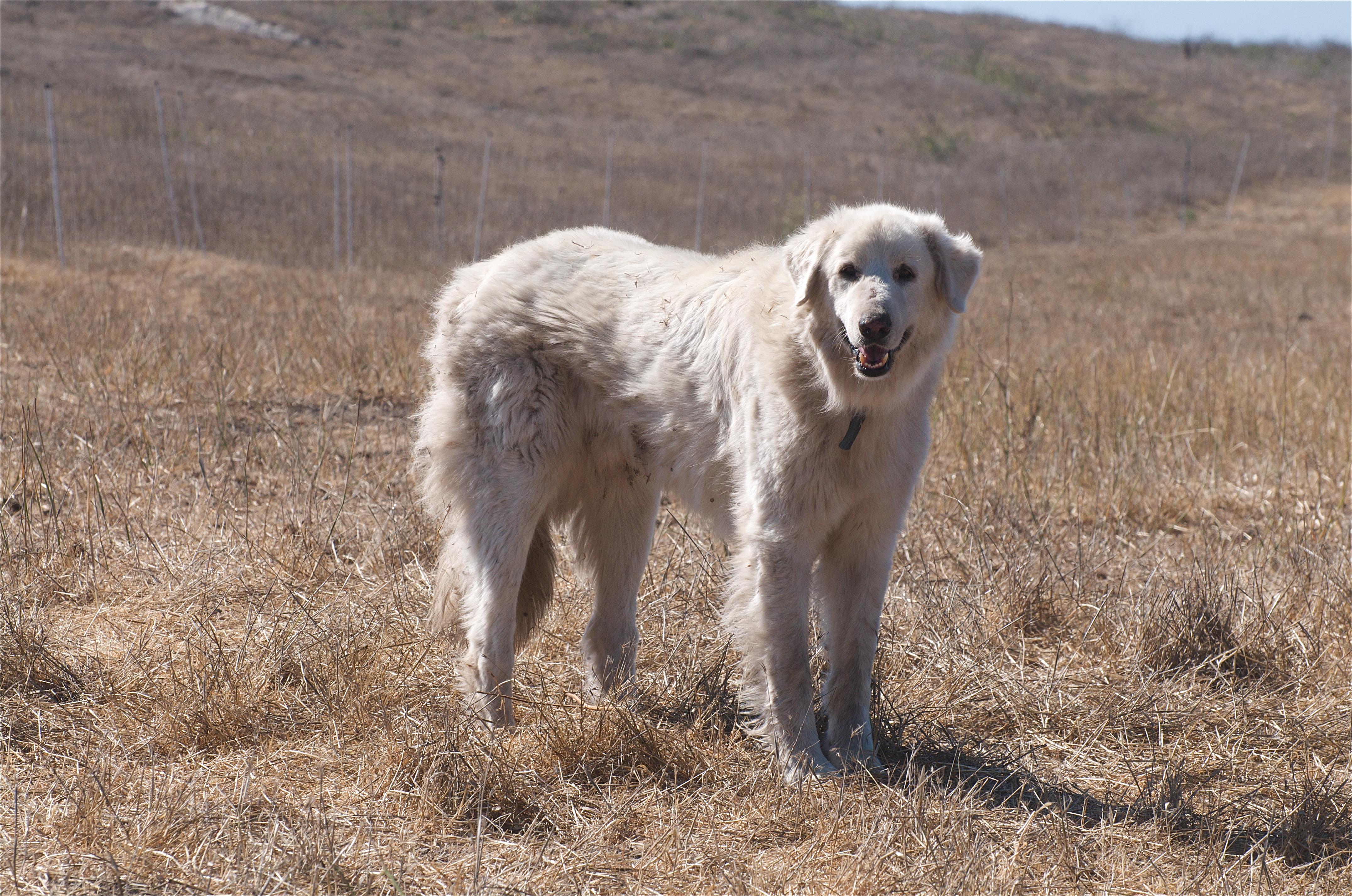 Çoban köpeği - sığır yetiştiricisinin en iyi yardımcısı