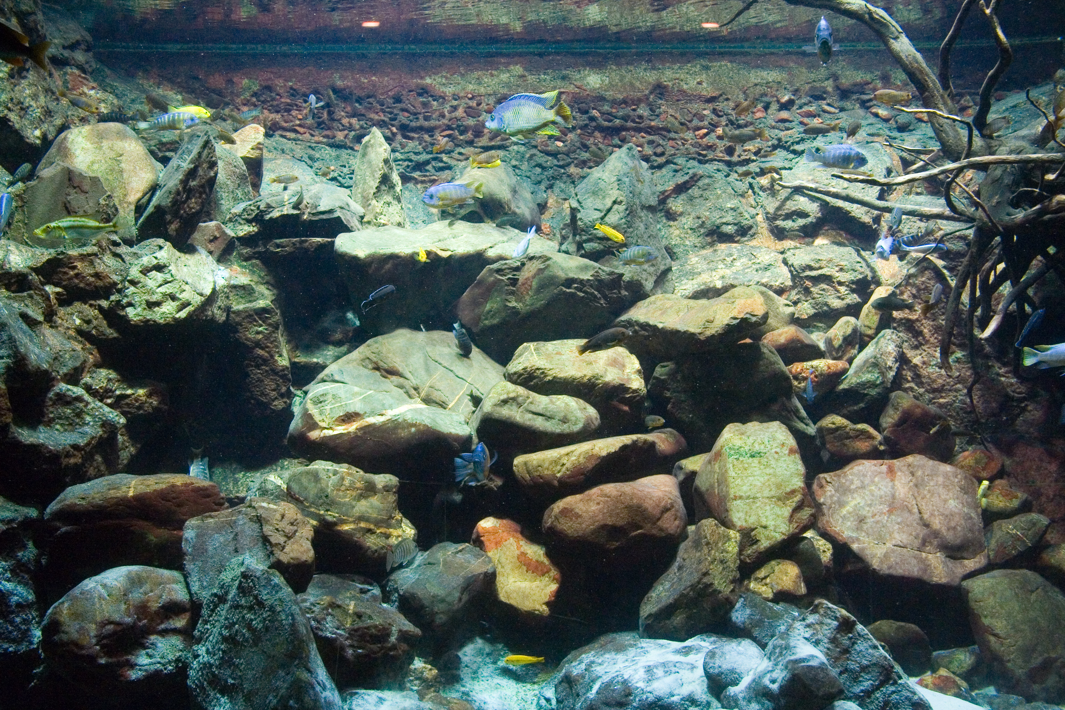 Cool aquarium ornaments - This Lake Malawi Biotope With Cichlids Is At The Artis Aquarium Amsterdam Note The