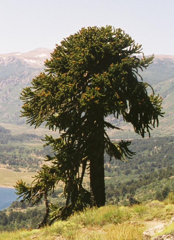 Araucaria araucana wikipedia la enciclopedia libre for Arboles con sus nombres y caracteristicas