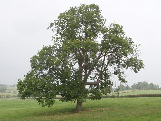 File ash tree near bayhurst wood geograph  g