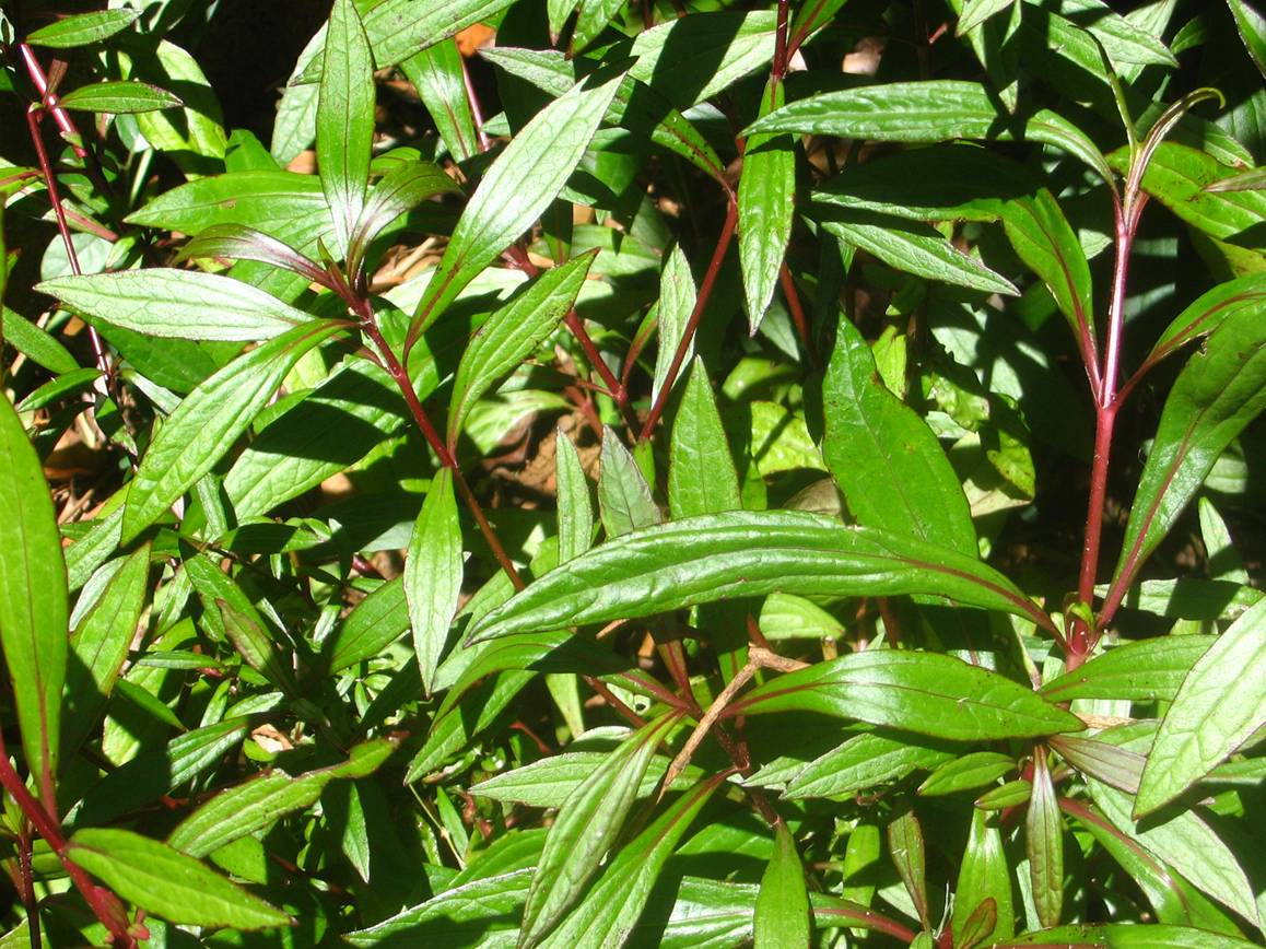 medicinal plants in the philippines a Herbal medicine is the use of medicinal plants for prevention and treatment of diseases: it ranges from traditional and popular medicines of every country to the use of standardized and tritated herbal extracts generally cultural rootedness enduring and widespread use in a traditional medical.
