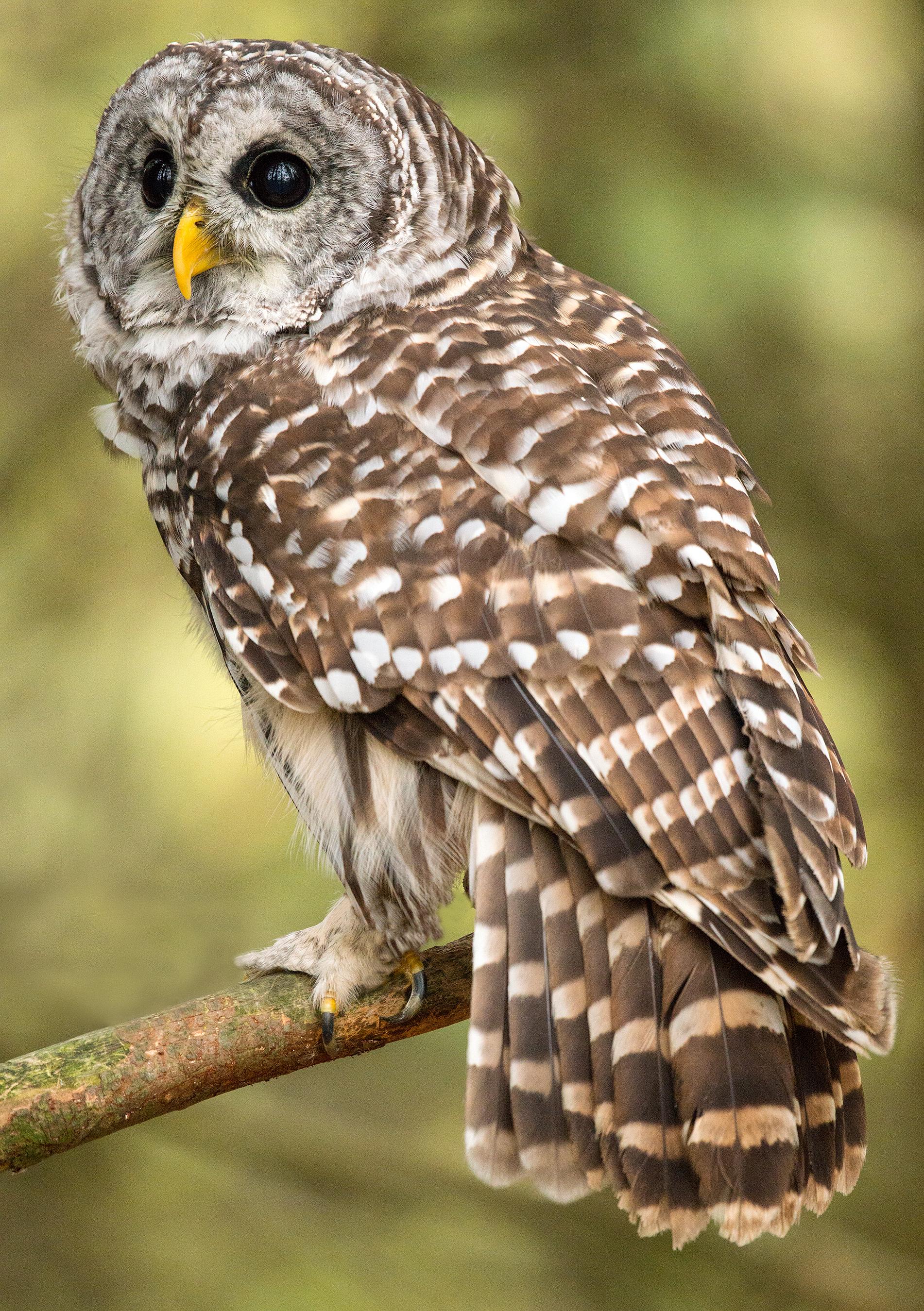 File Barred Owl Canada Jpg Wikimedia Commons