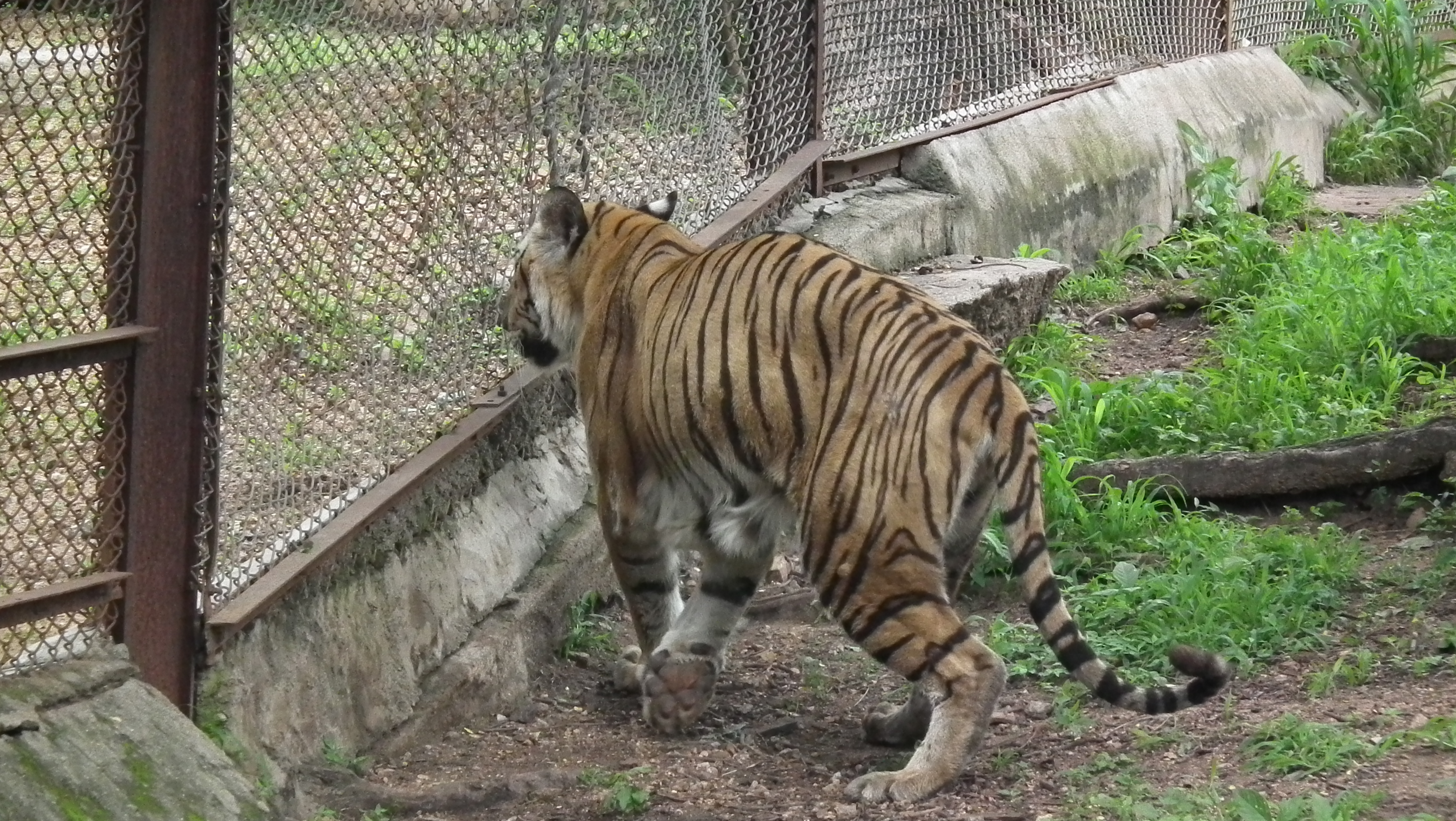 File Bengal Tiger From Hyderabad Nehru Zoo 4251 Jpg Wikimedia Commons