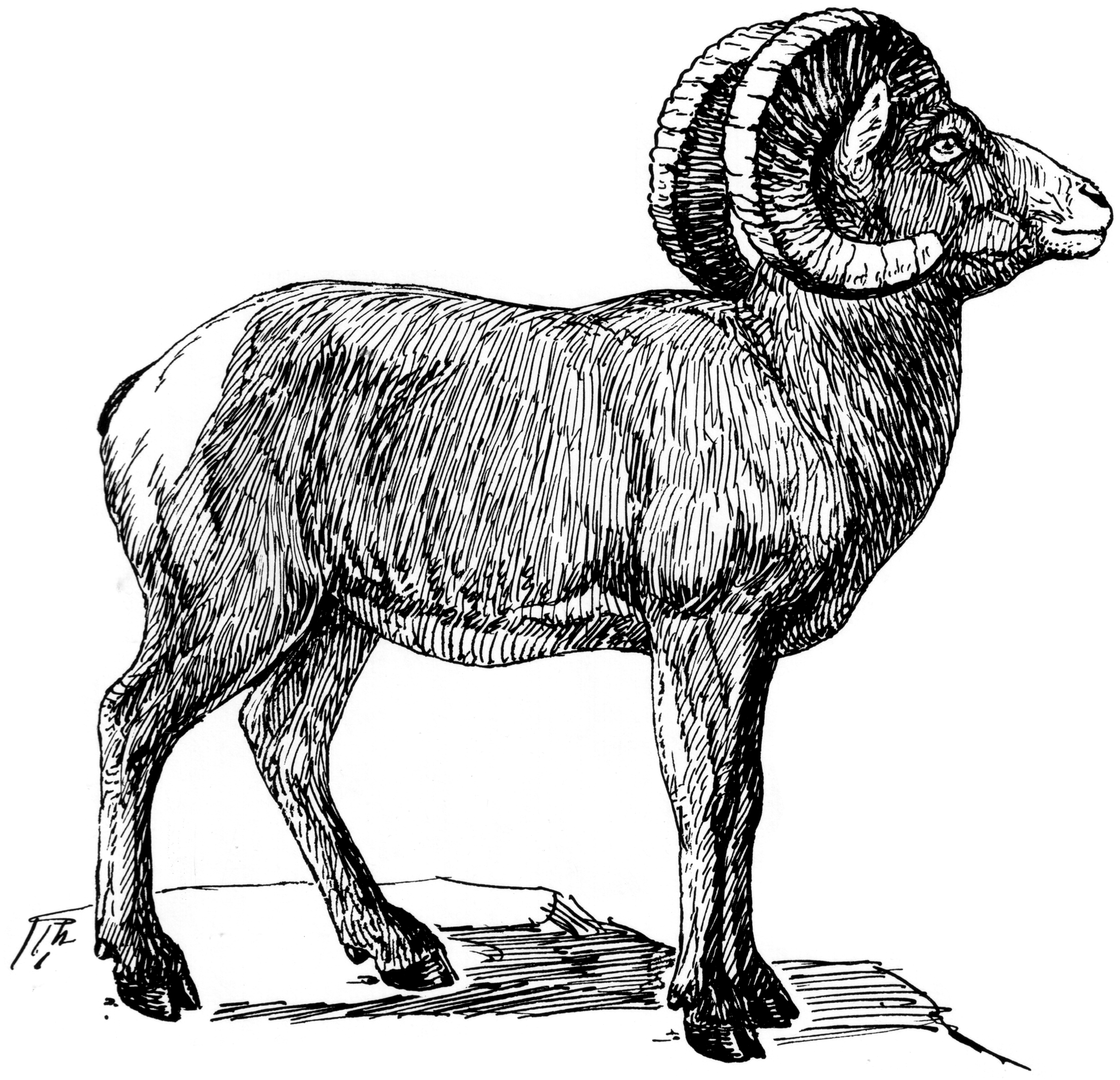 Line Drawing Sheep : File bighorn psf wikimedia commons