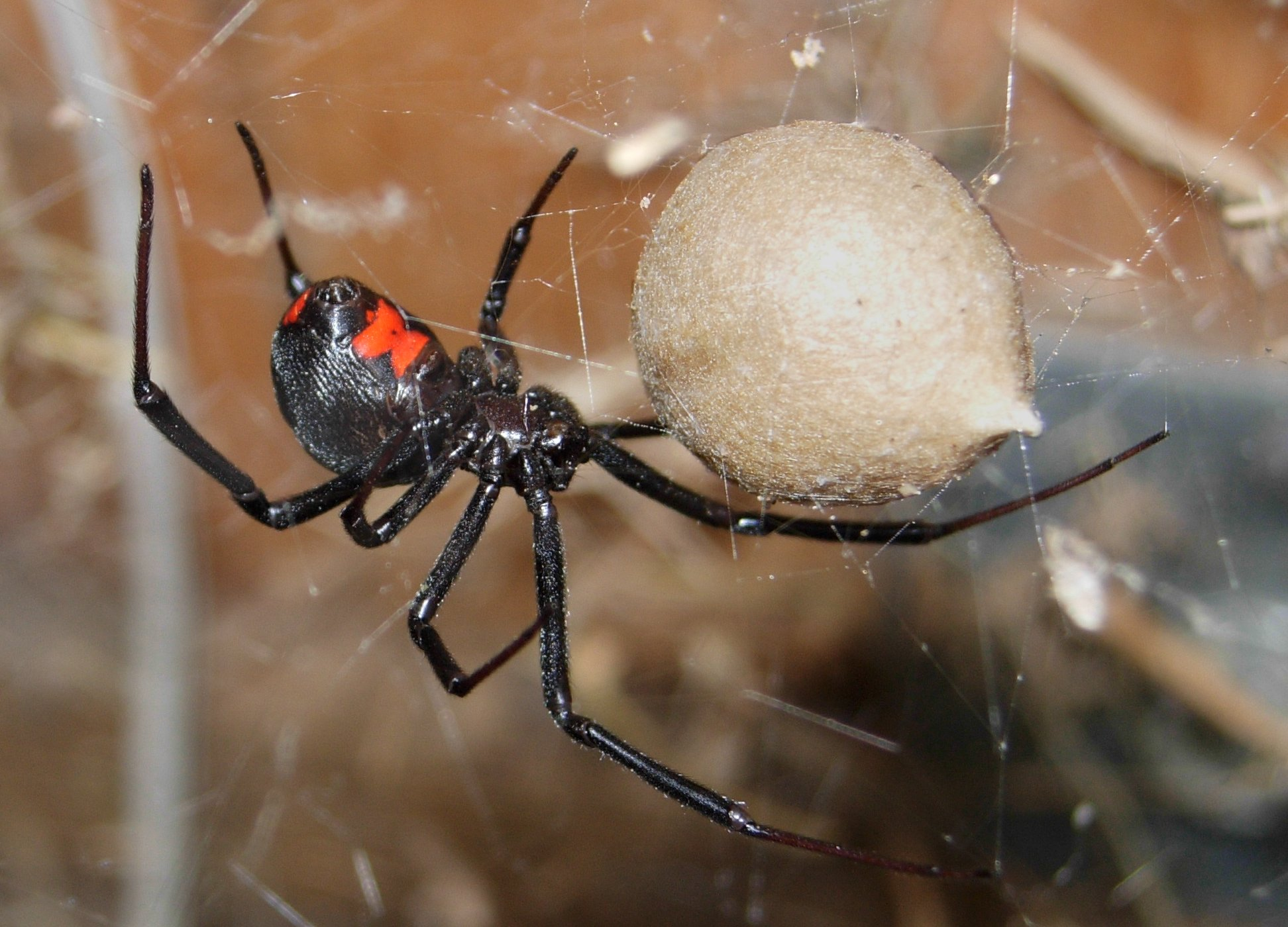 Black widow spider eggs - photo#27