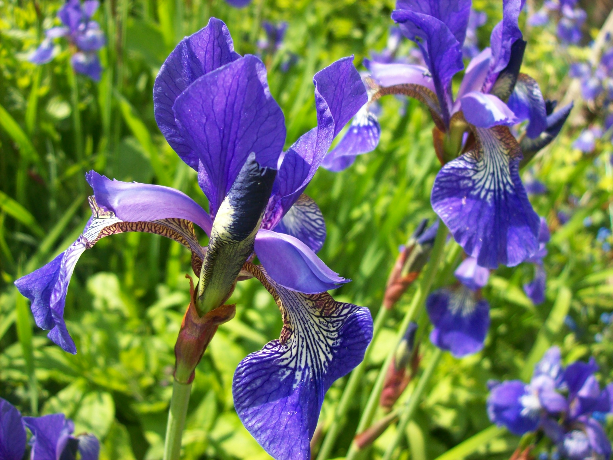 fileblue iris  wikimedia commons, Natural flower
