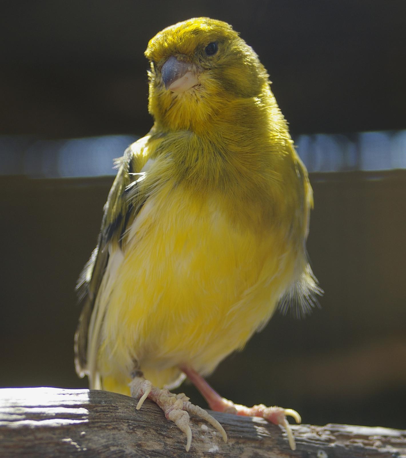Желтая канарейка фото