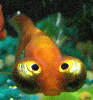 English: A Celestial Eye (Stargazer) goldfish