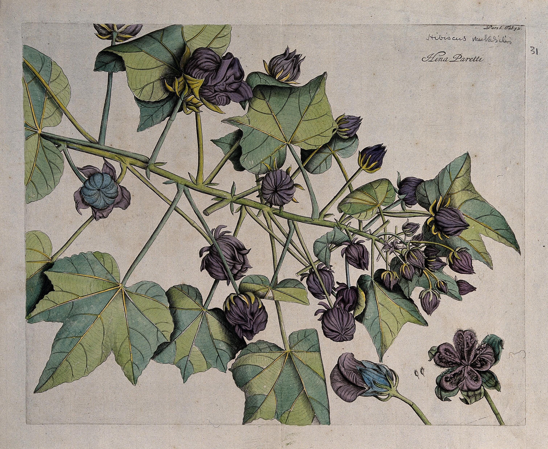 Filechina Rose Or Shoe Flower Hibiscus Rosa Sinensis L Branc