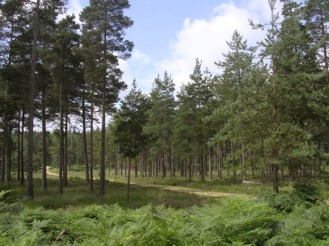 Coniferous trees in the Knightwood Inclosure, New Forest - geograph.org.uk - 32726