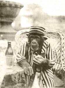 Seated chimp.