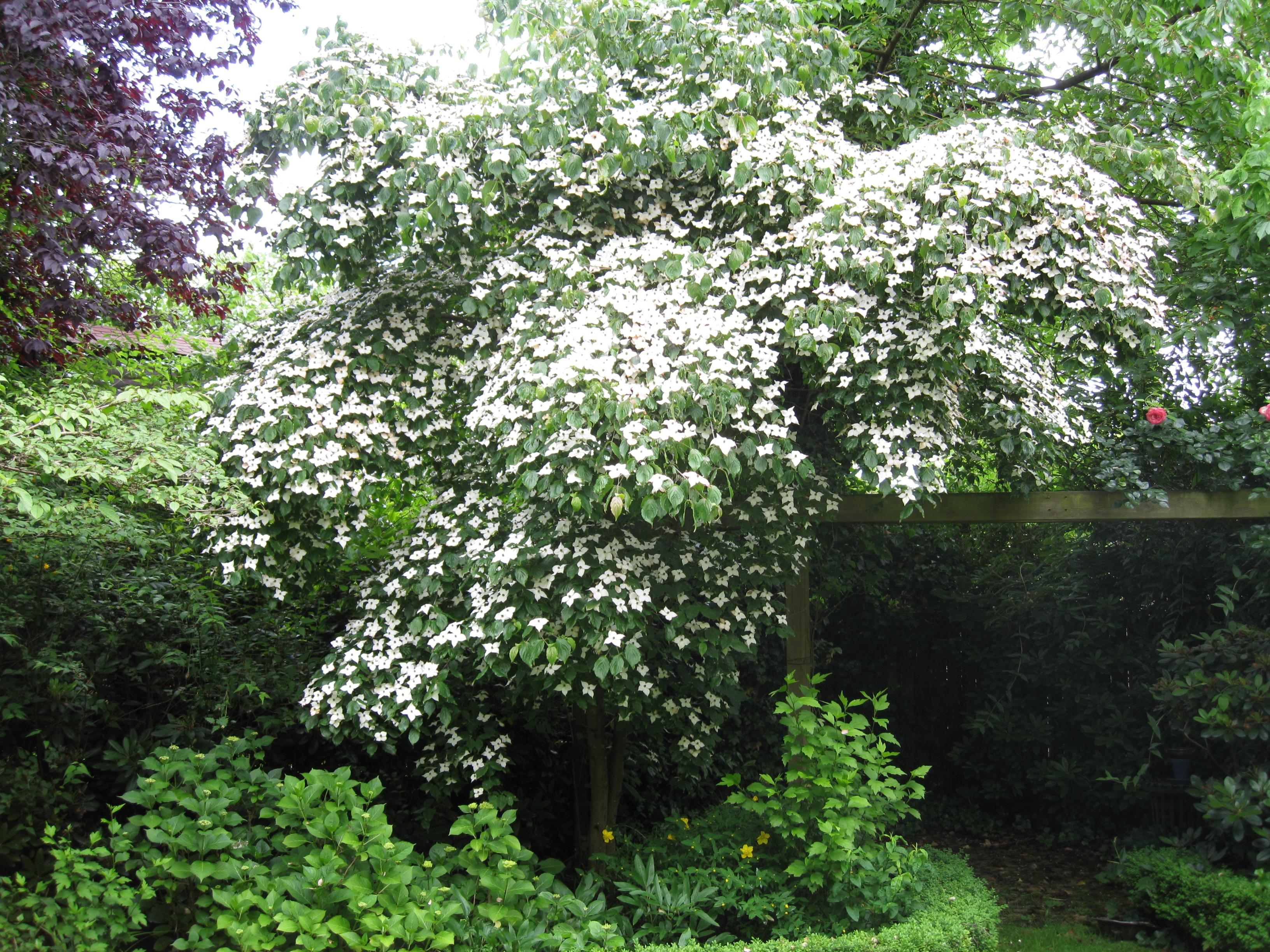 File cornus kousa bl ten hartriegel jpg wikimedia commons for Arboles de jardin fotos