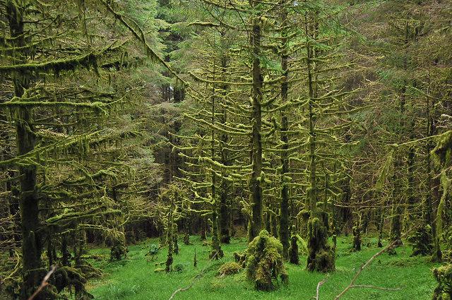 File:Dense forest near Kinlochan - geograph.org.uk - 957592.jpg