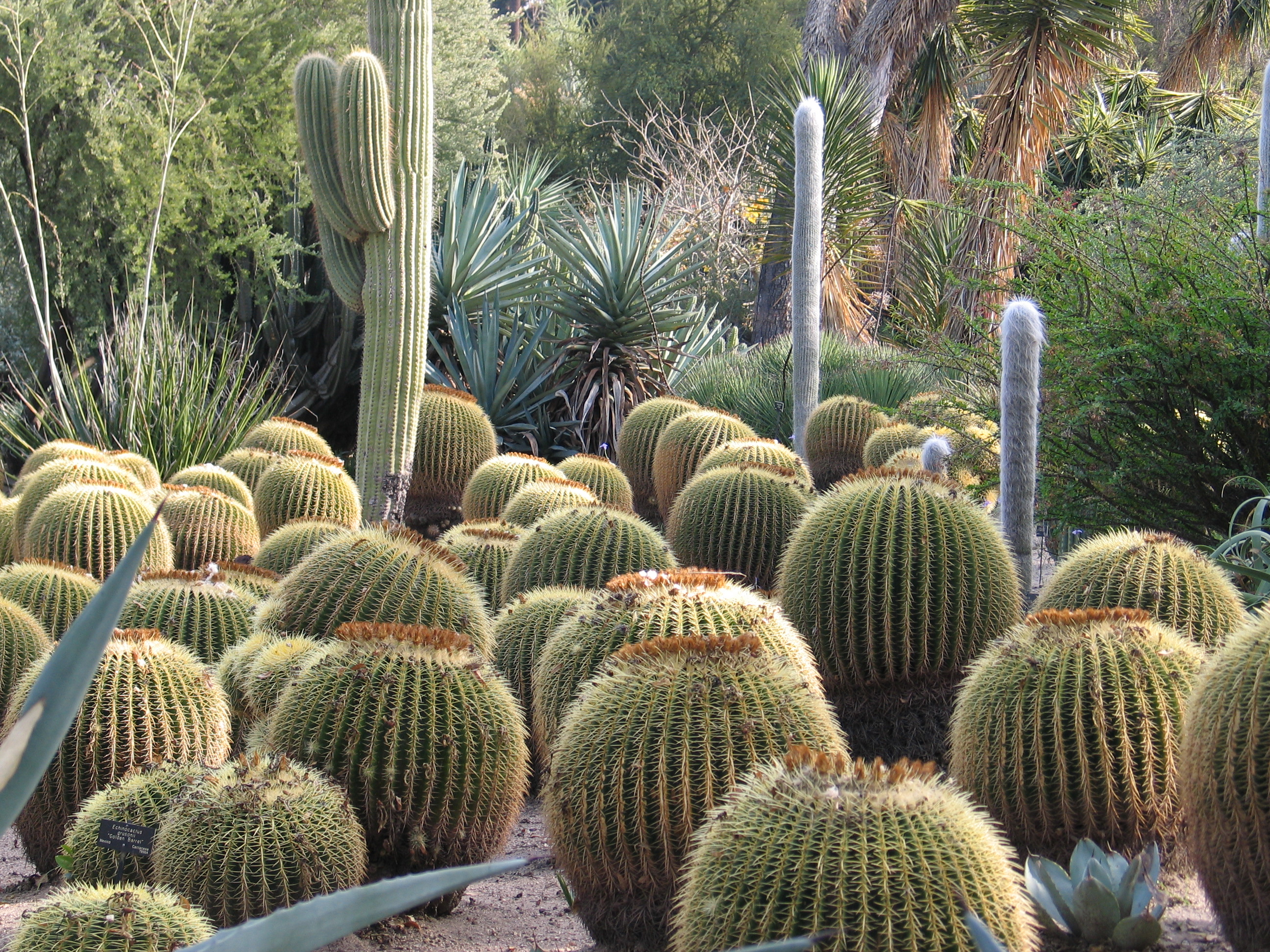 File:Desert Garden Cacti At Huntington Library