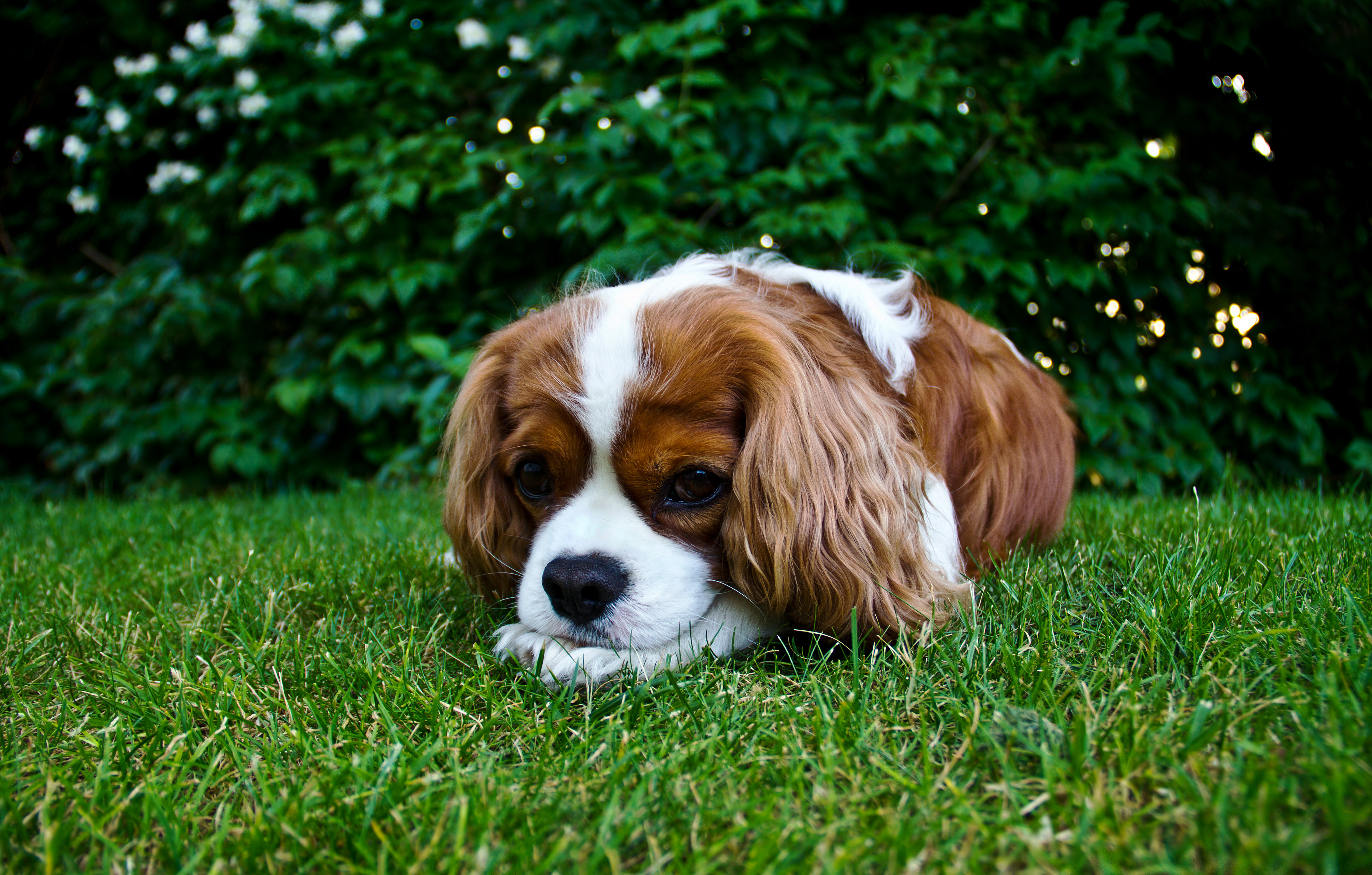 Cavalier King Charles Spaniel Rescue Dogs For Sale