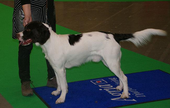 File:Dutch Partridge Dog.jpg