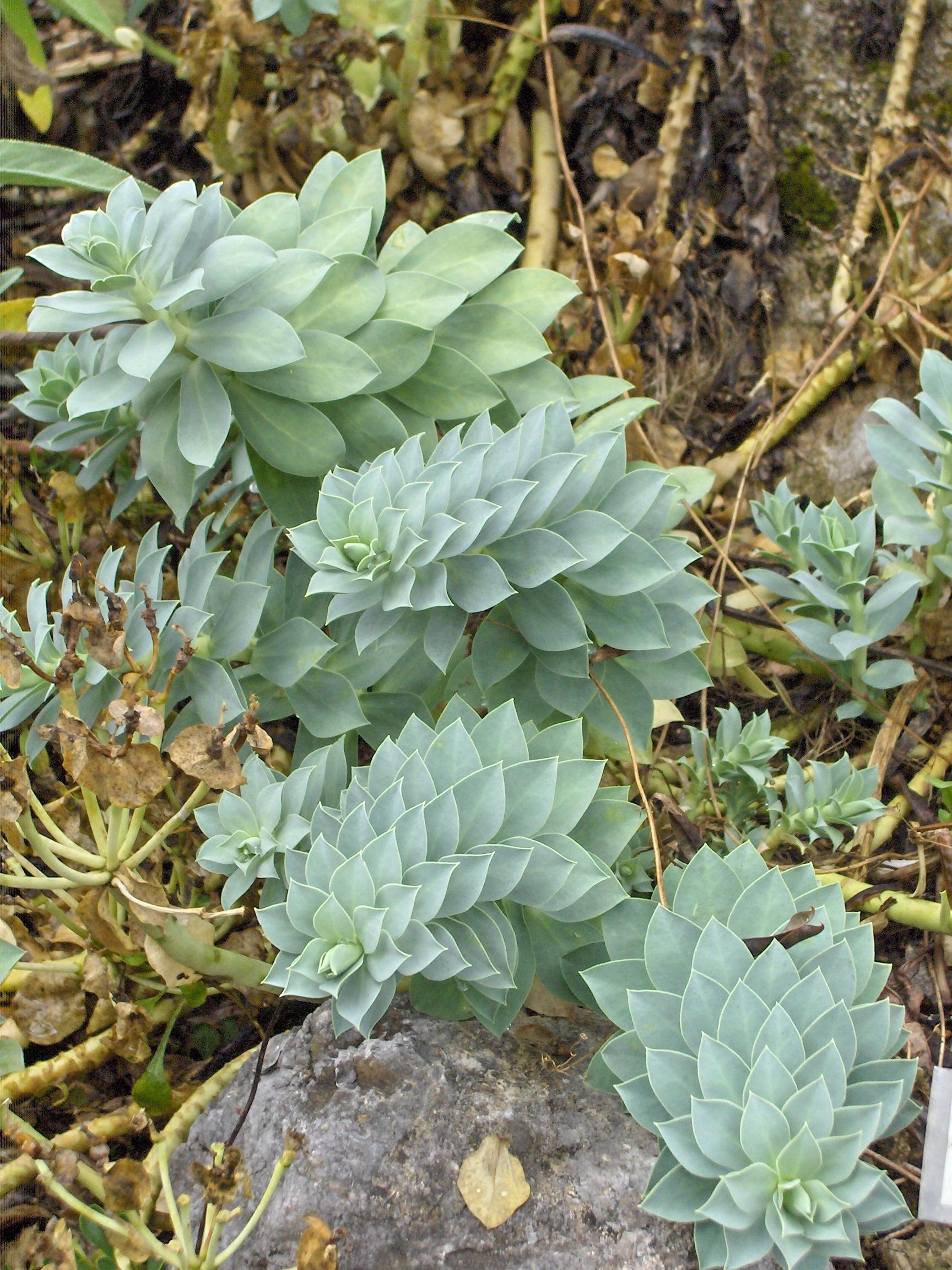 Euphorbia meloformis ssp validating