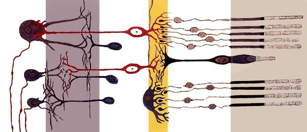 سلول های استوانه ای