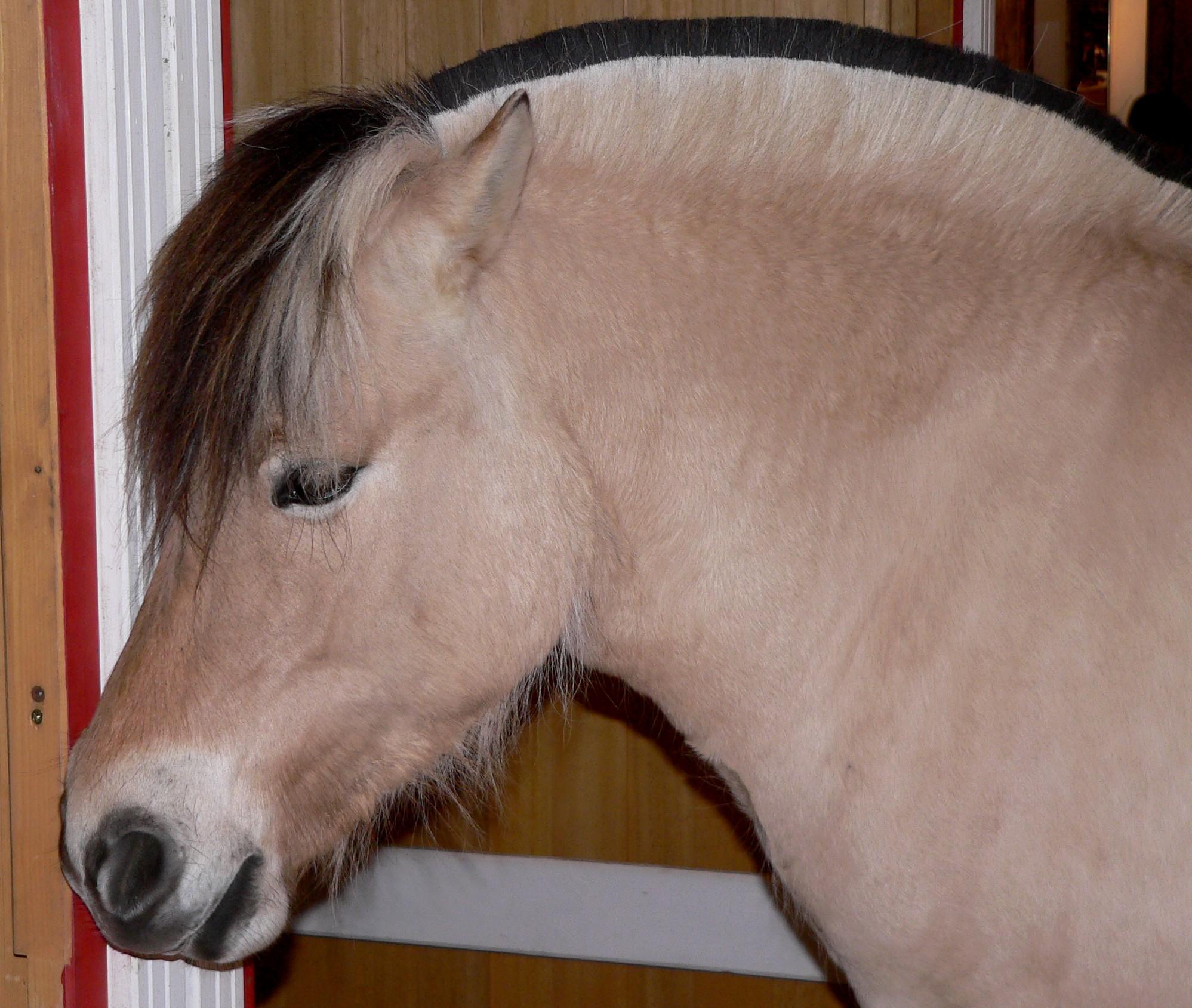 Fjordpferd - Kopf.jpg