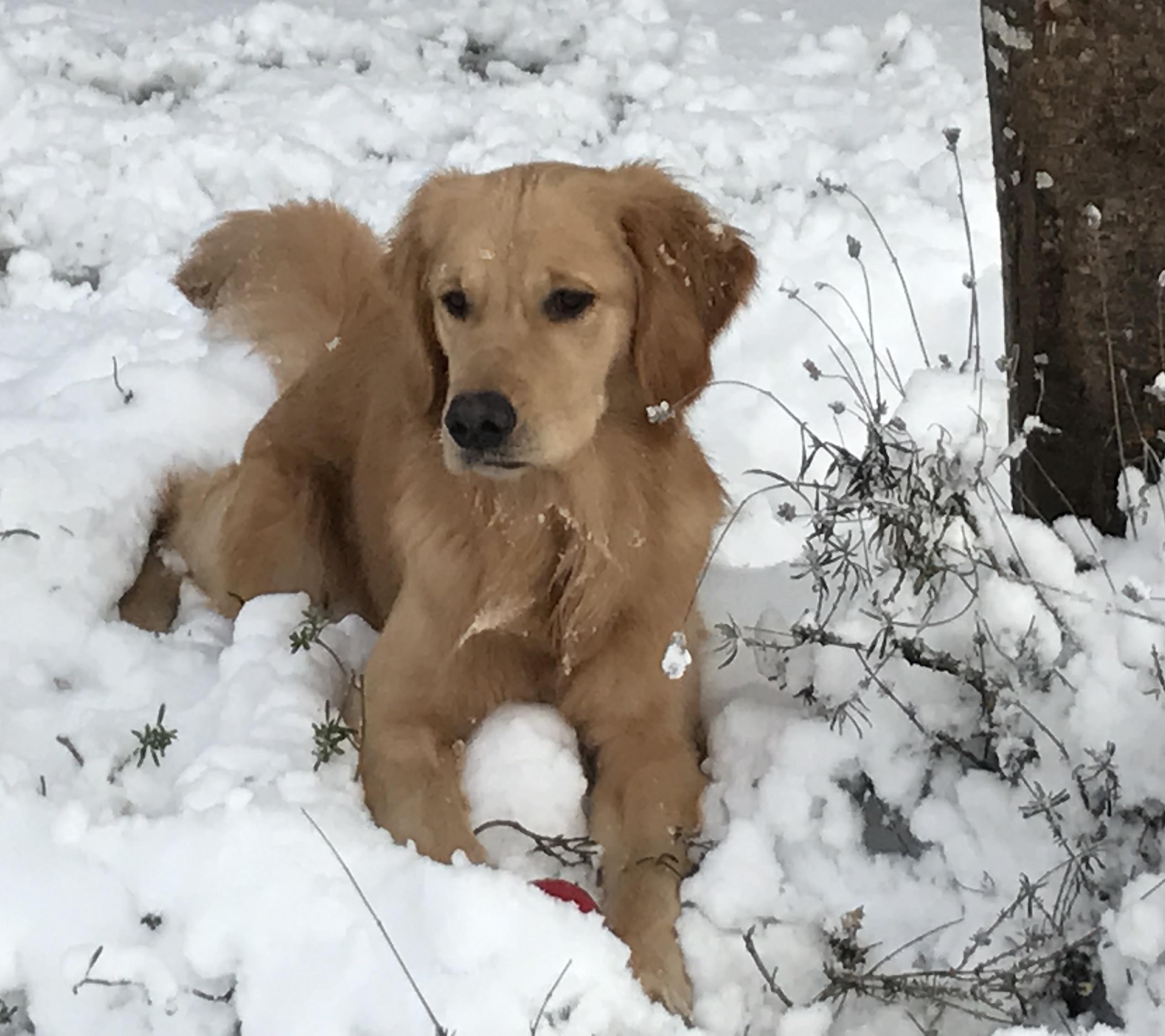 Golden Retriever The Best Dog Breed