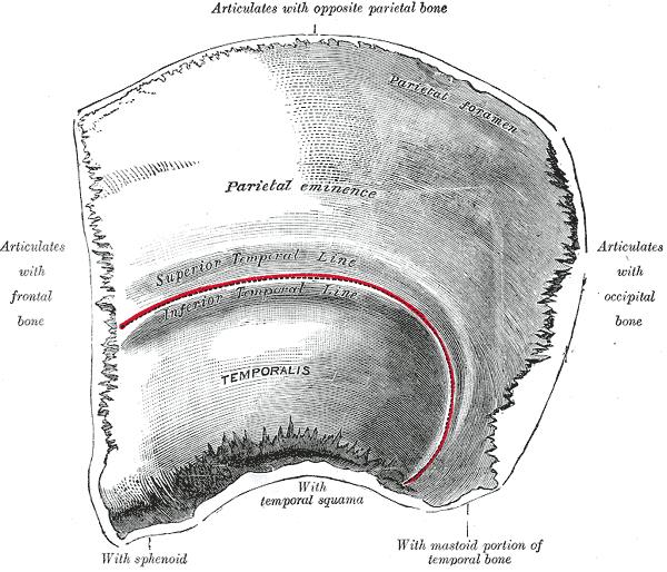 Hueso parietal - Wikipedia, la enciclopedia libre