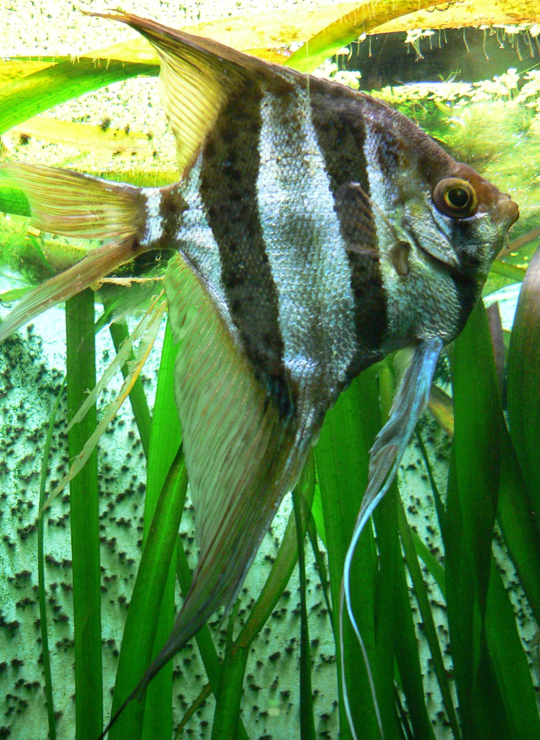 Naturen andre i for Skalar aquarium