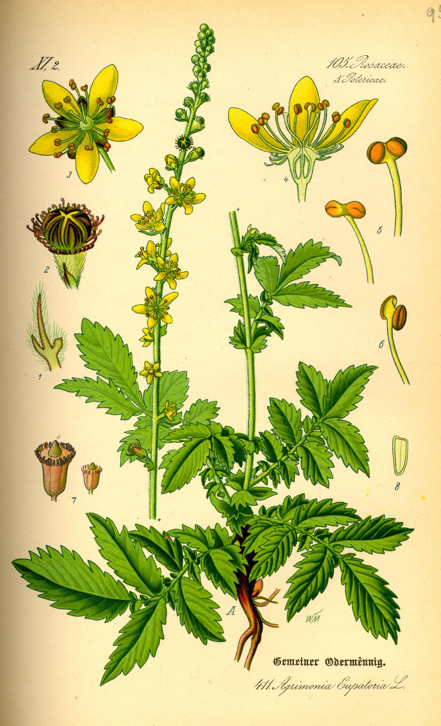DateiIllustration Agrimonia eupatoria20.jpg – Wikipedia