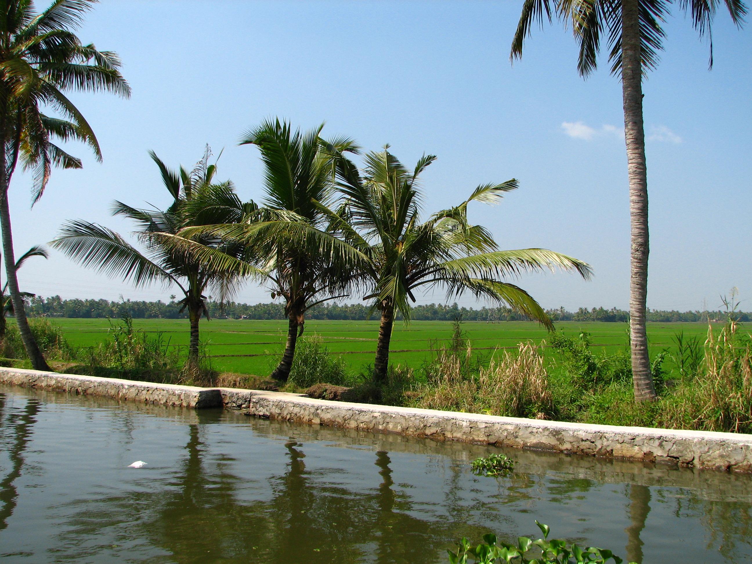 Description India - Kerala - 007 - paddy fields line the backwaters ...