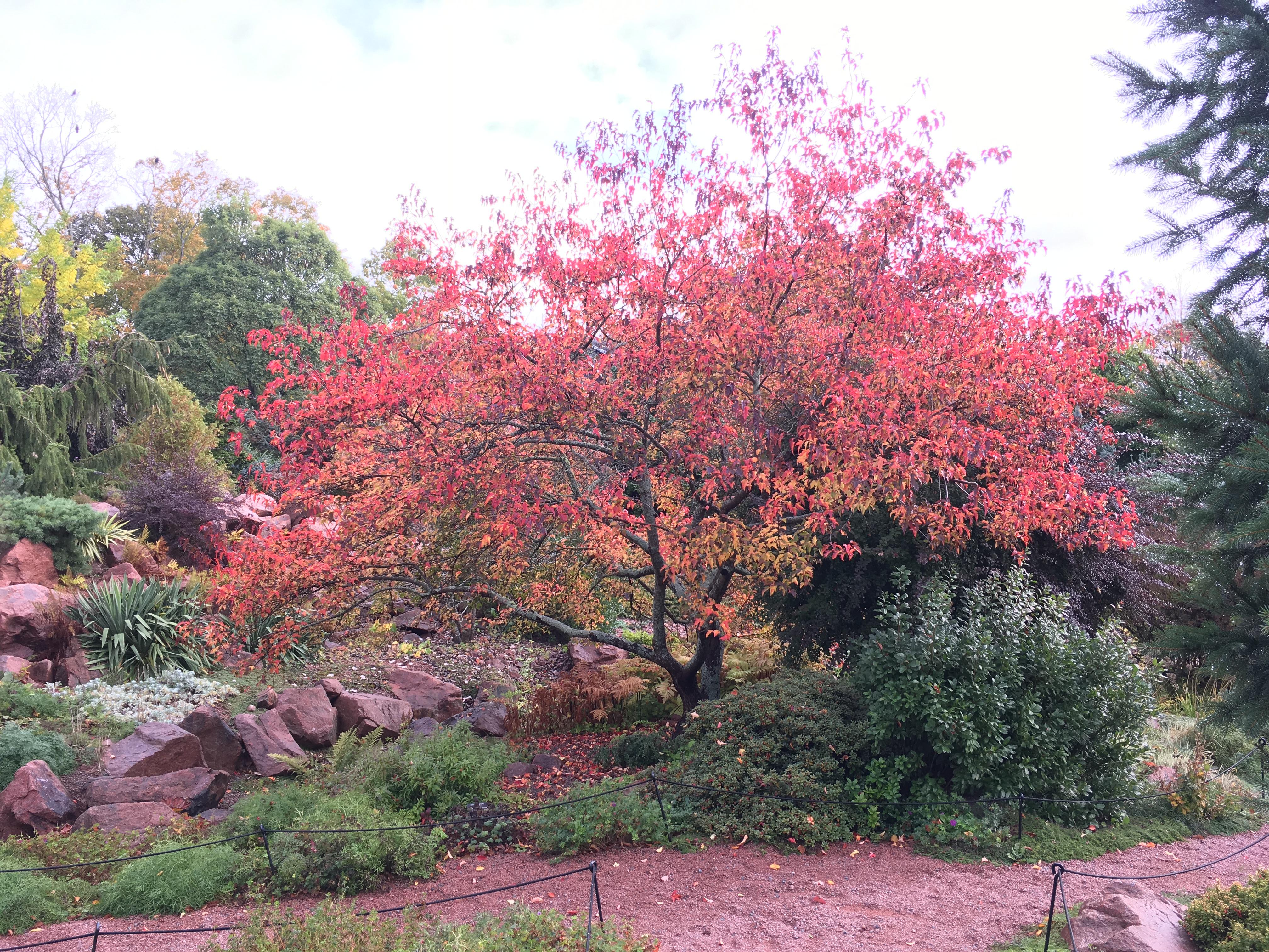 Japanese Maple Tree Full Size