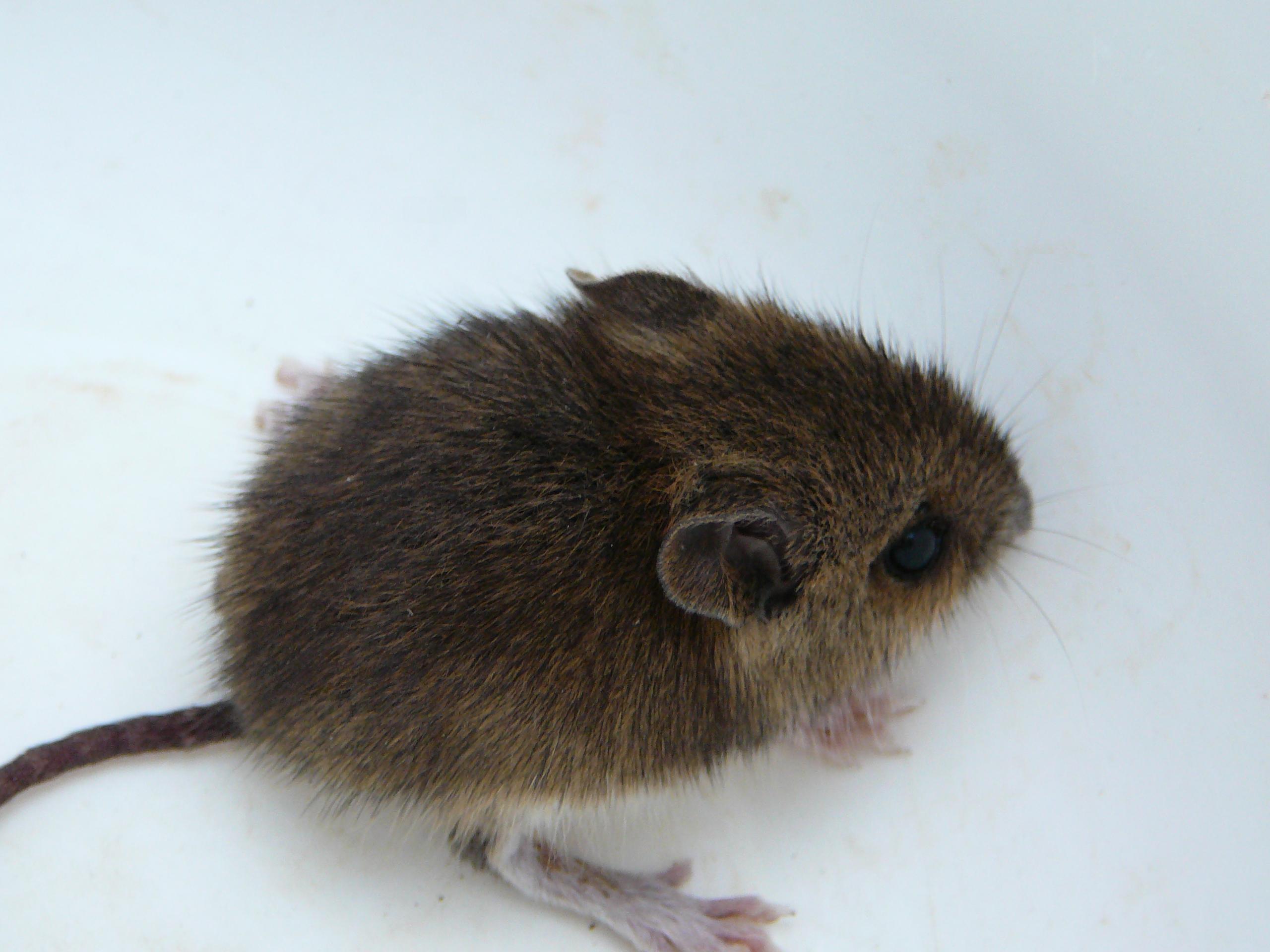 File:Junge Maus 003 komp.JPG - Wikimedia Commons